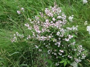 IMG_0159 - Deutzia scabra 'Codsall Pink'