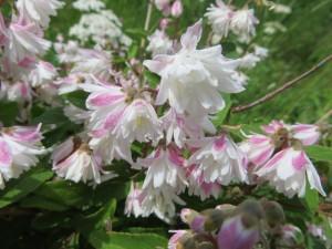 IMG_0161 - Deutzia scabra 'Codsall Pink'