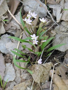 2014_05_14_0059 - Claytonia virginica
