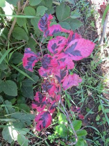 2014_06_08_1235 - Fagus sylvatica 'Tricolor'