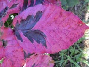 2014_06_08_1236 - Fagus sylvatica 'Tricolor'