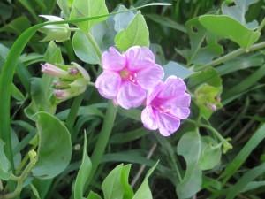 2014_06_23_1331 - Mirabilis multiflora