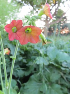 2014_06_23_1337 - Nicotiana x hybrida 'Tinkerbell'