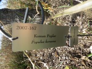 2015_10_07_5207 - Populus koreana