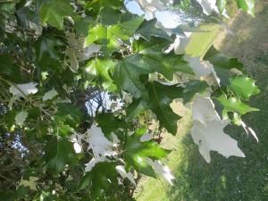 2015_10_07_5209 - Populus tomentosa x alba