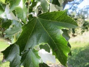 2015_10_07_5210 - Populus tomentosa x alba