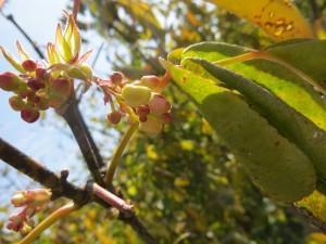 2015_10_07_5242 - Staphylea trifolia