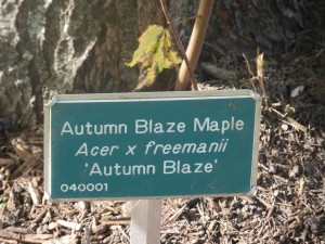 2015_10_13_5327 - Acer x freemanii 'Autumn Blaze'
