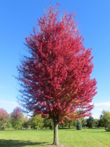 2015_10_13_5329 - Acer x freemanii 'Autumn Blaze'