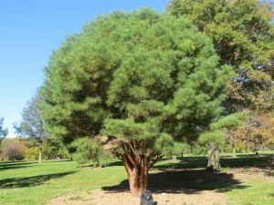 2015_10_13_5335 - Pinus densiflora 'Umbraculifera'