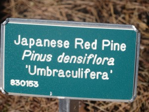 2015_10_13_5337 - Pinus densiflora 'Umbraculifera'