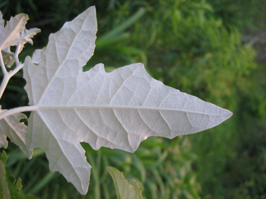 ... , have ornamental appeal with the white undersides of the leaves