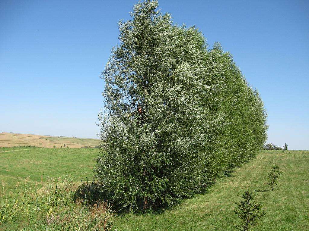 Fast Growing Trees Windbreaks Screening Shade Welcome To The Homesteading Today Forum And Community
