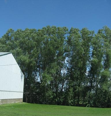 Hybrid Willow Windbreak Best Trees Iowa